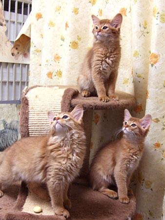 ソマリの子猫たち