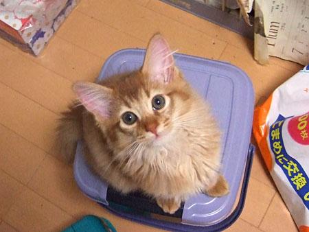 ソマリの子猫 ミラくん