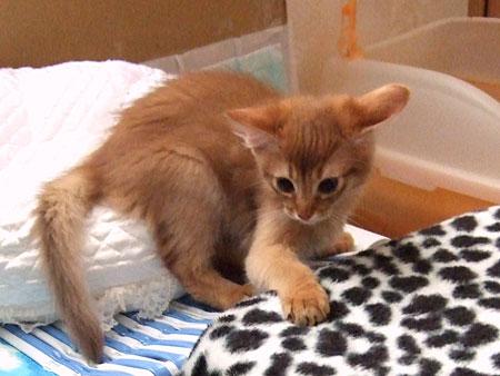 ソマリの子猫 マルカブくん